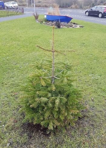 B & Q christmas tree cropped